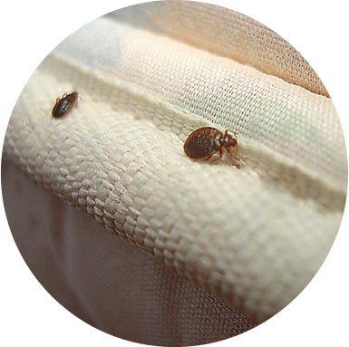 adult bed bugs on mattress